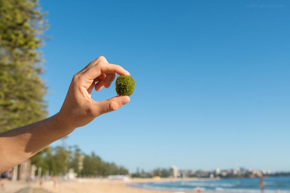 Algae Ball