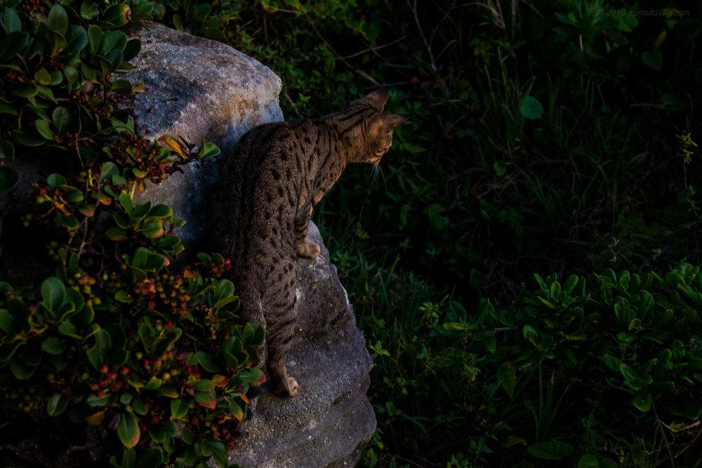Leopard? Jaguar? - Freshwater Feral