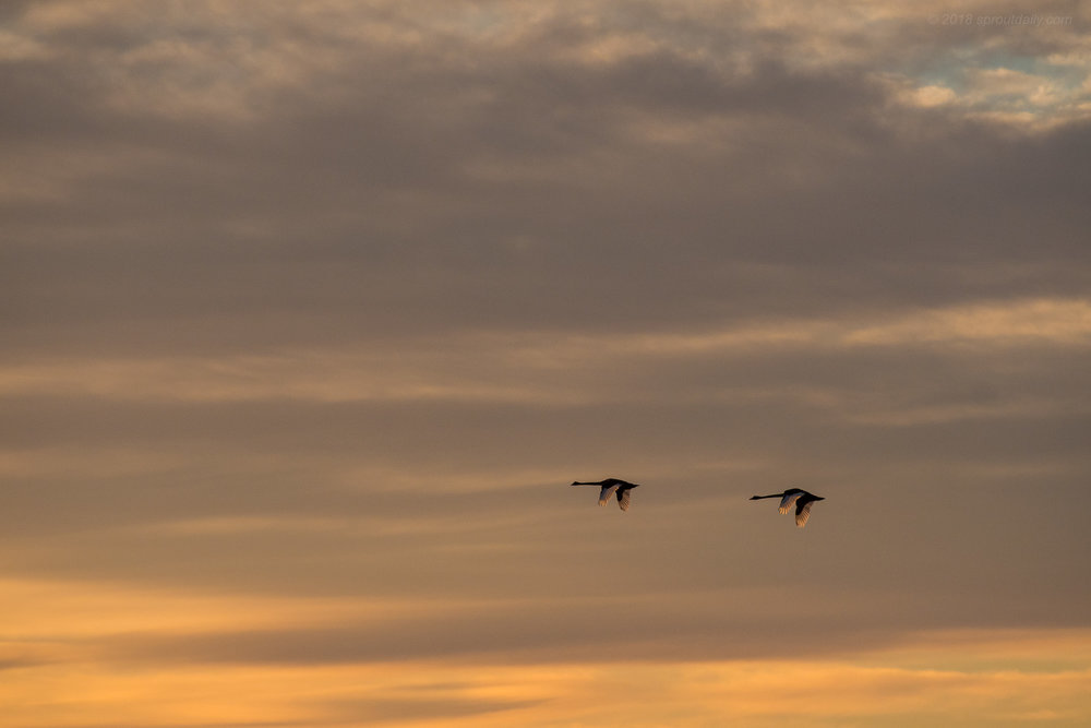 Black Swan Fly By