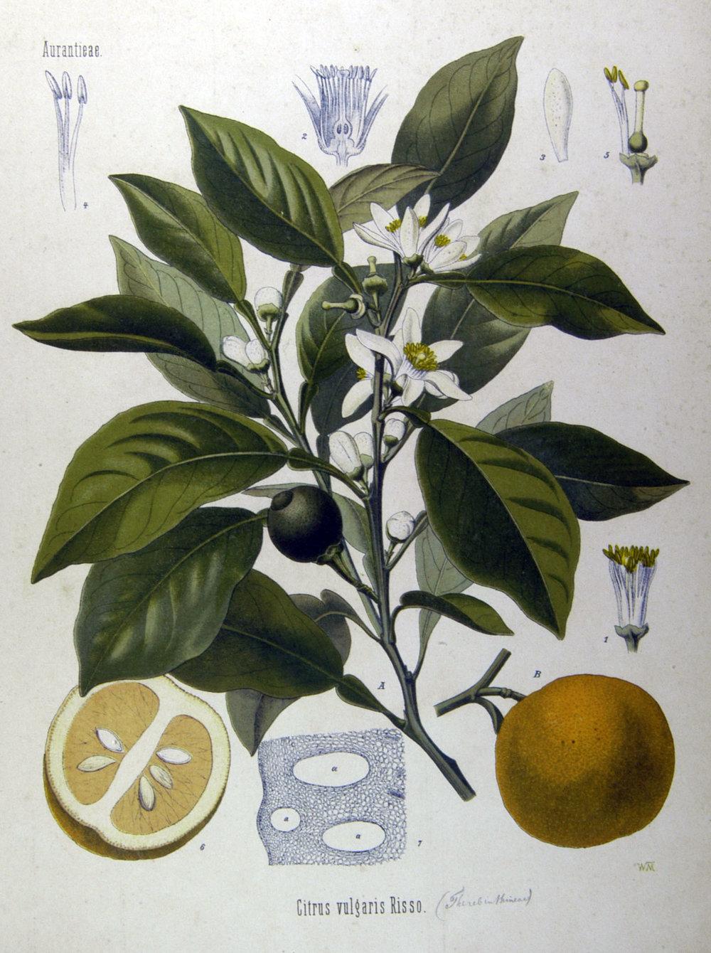 Citrus_vulgaris_(Köhler).jpg