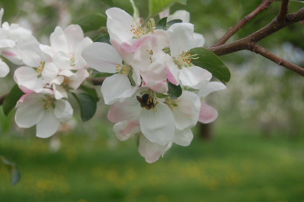 Springtime bloom at Hackett's Orchard fi lls the air with the sweet small ofapple blossoms and the hum of bees.