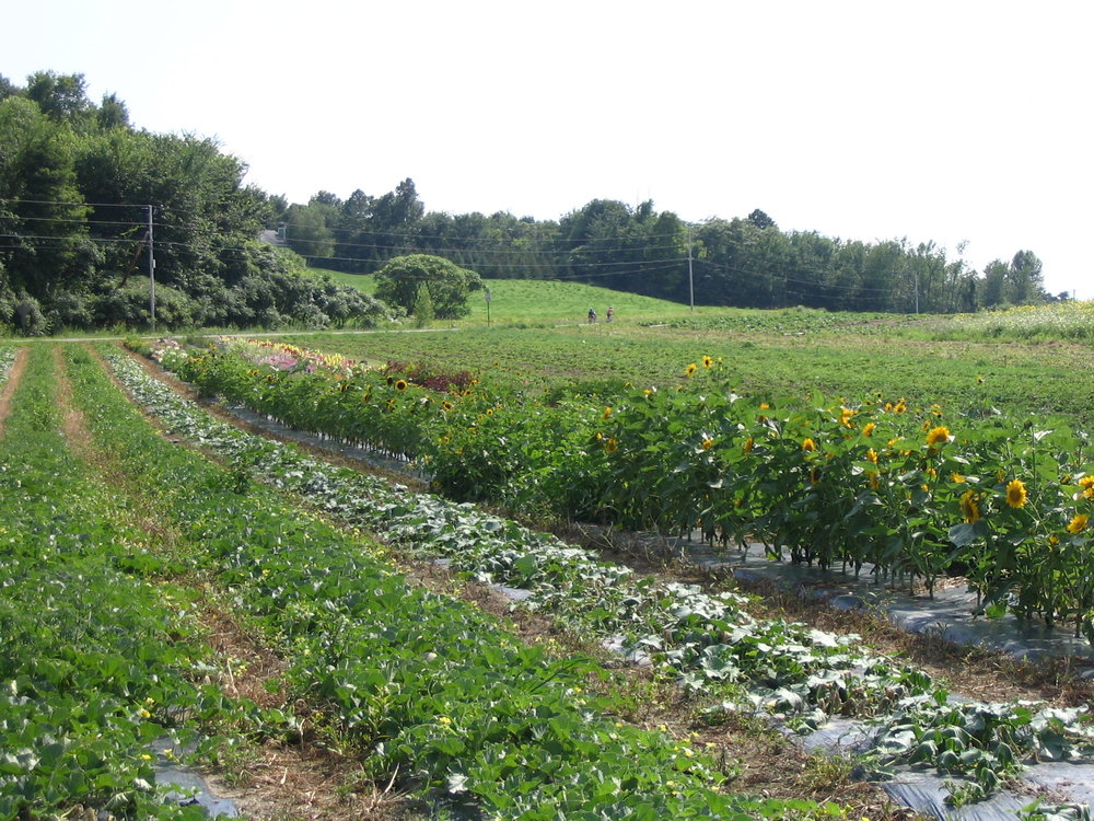 Melons and sunflowers growing at Pomykala Farm