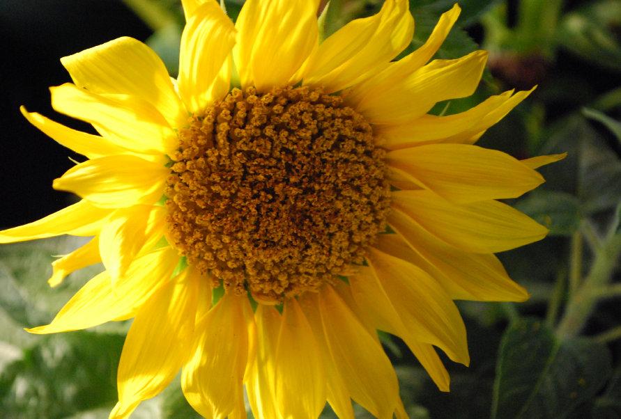 Sunflower Sunspot