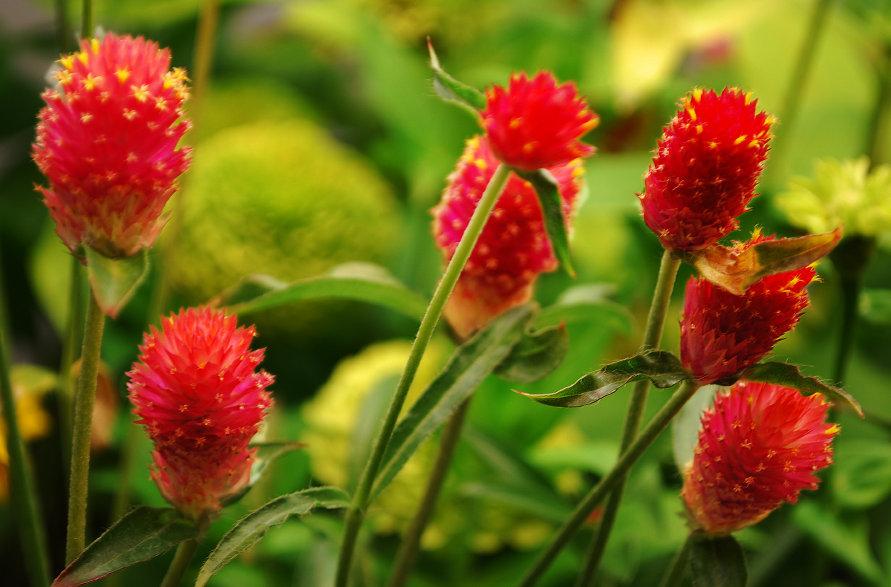 Gomphrena Strawberry Fields