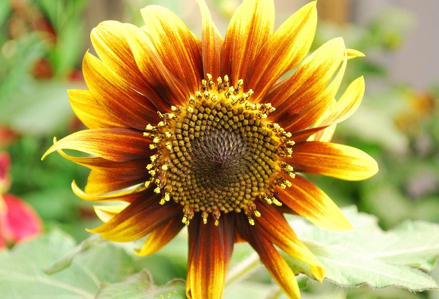 Sunflower Paquito Colorado