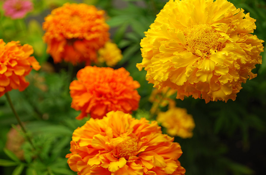 Marigold American Giant