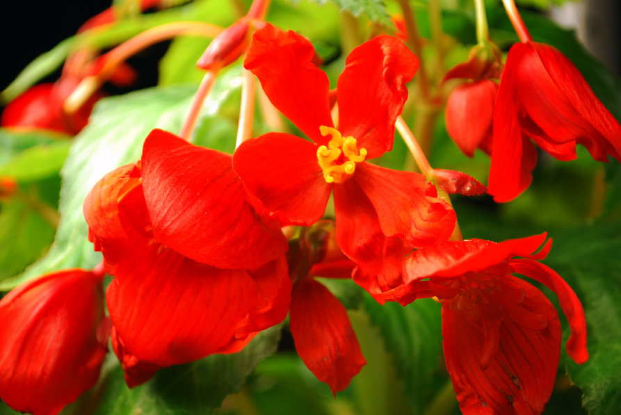 Begonia Pendula from prepared tuber