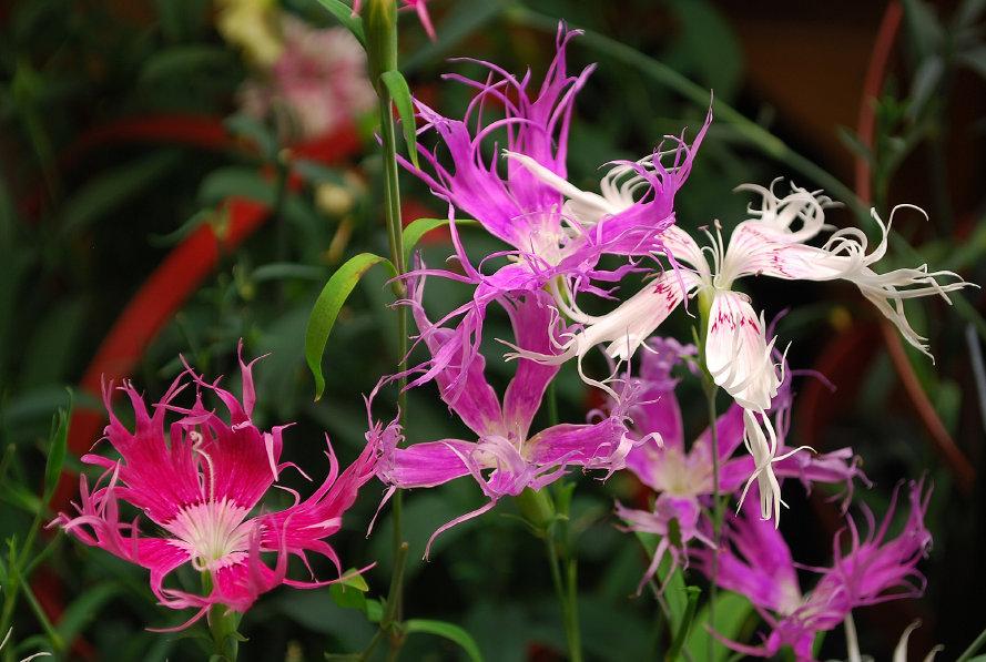 Dianthus Rainbow Loveliness