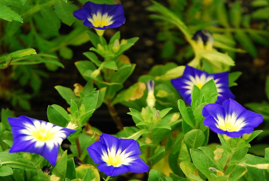 Convulvus Blue Enchantment