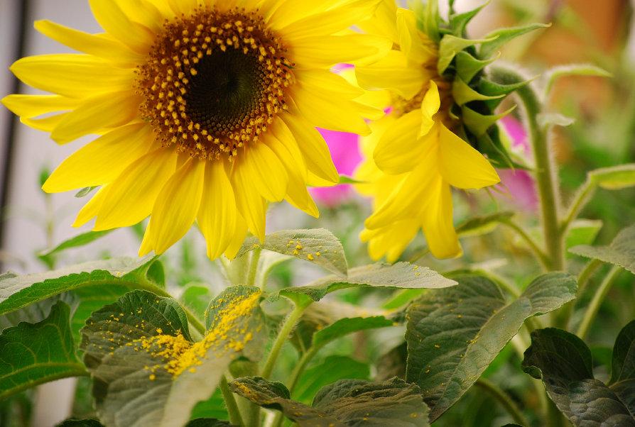 Sunflower Elf