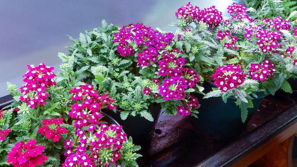 verbena in a group in large bloominlight jpg.jpg