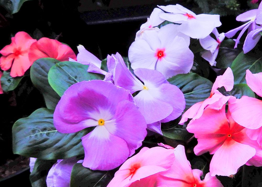vinca closeup jpg.jpg