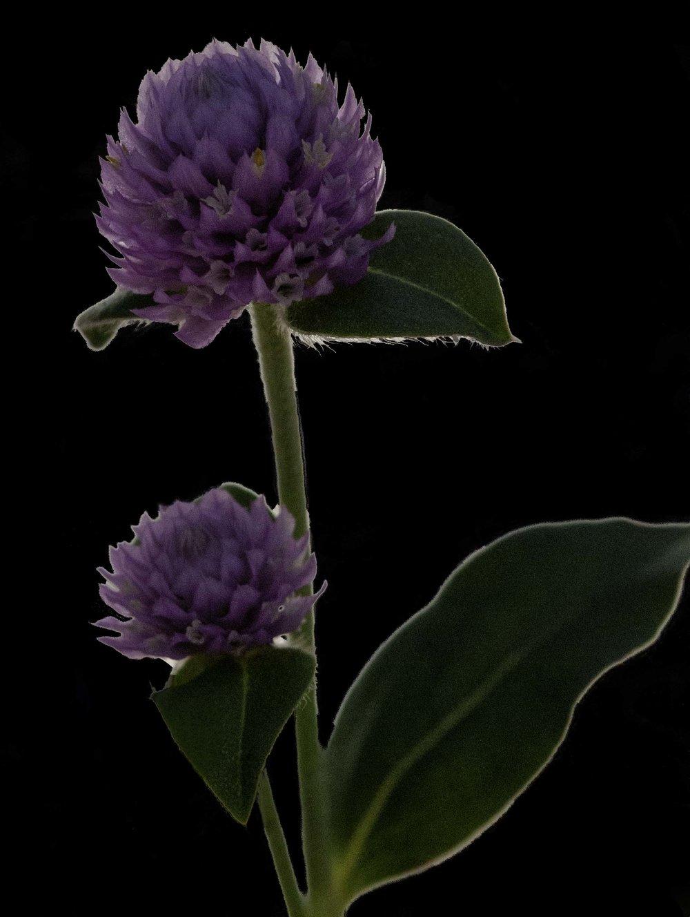 Gomphrena Ping Pong Lavender (Globe Amaranth)