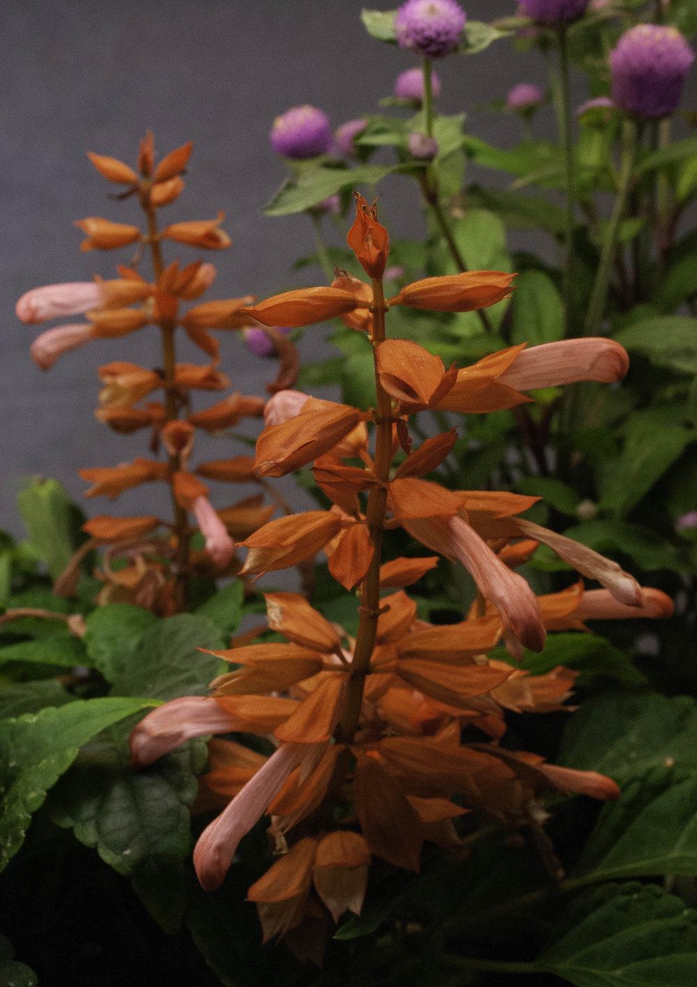 Salvia Sizzler Mix