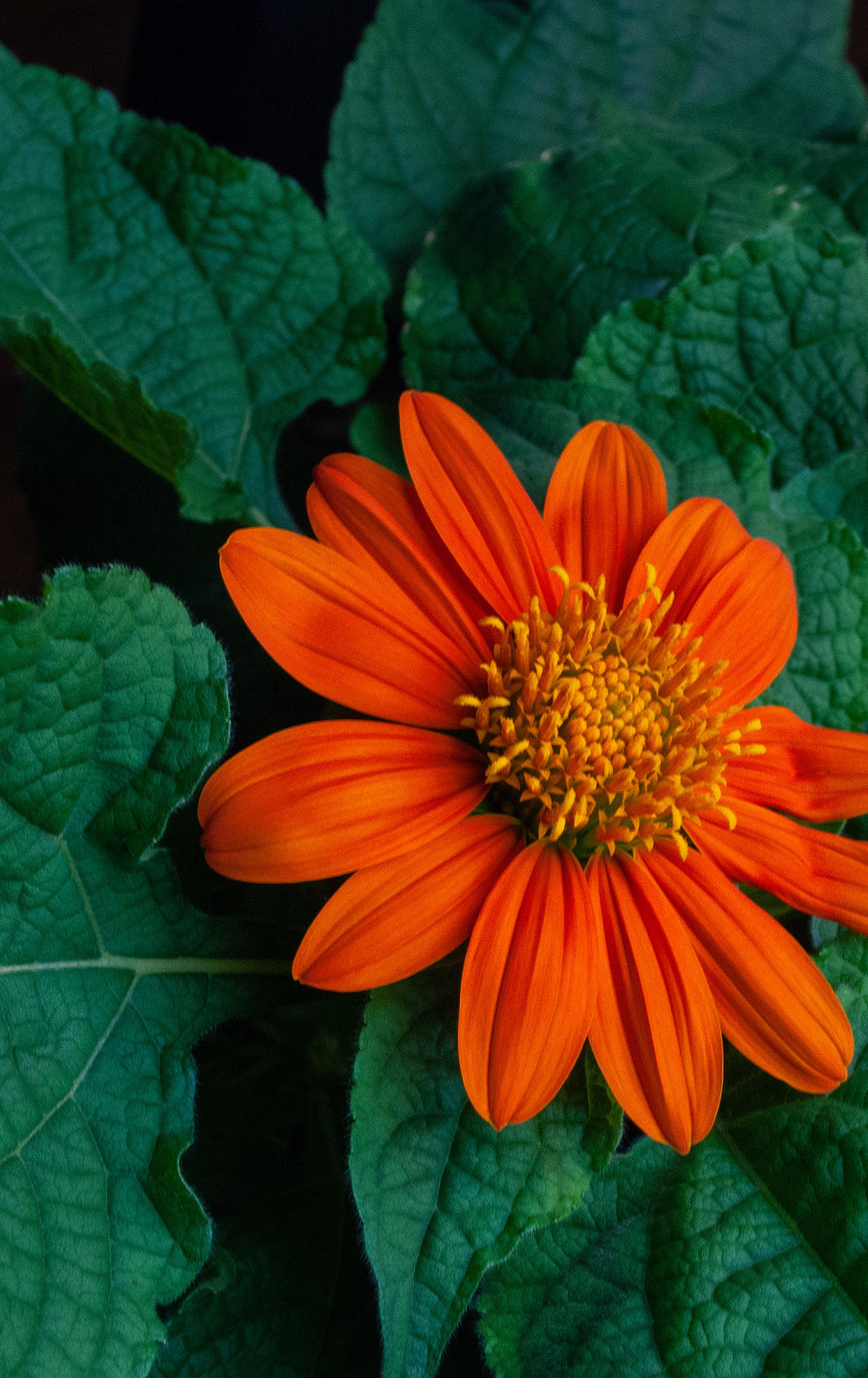 Tithonia (Mexican Sunflower)