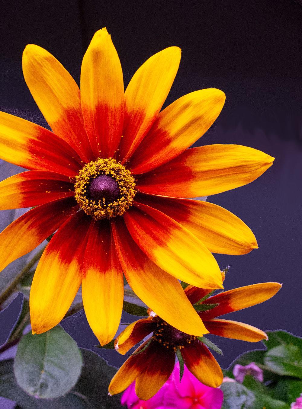 Rudbecekia Gloriosa Daisy