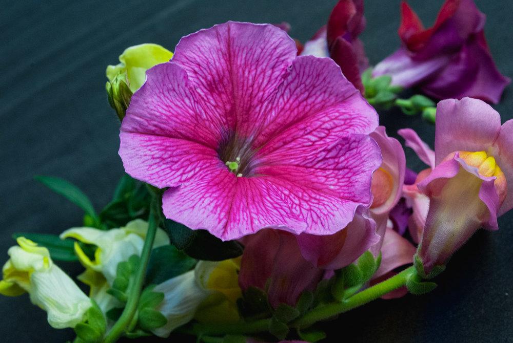 Petunia Mixed Colors