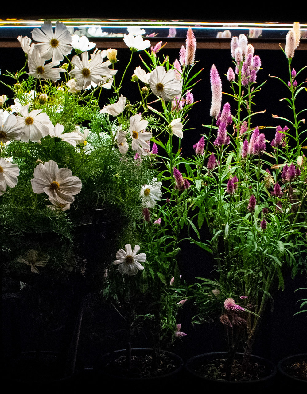 BloomInLight with Cosmos and Celosia