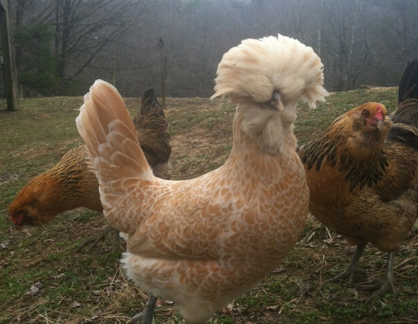 The Buff Laced Polish Chickens have light brown feathers and produce white eggs.