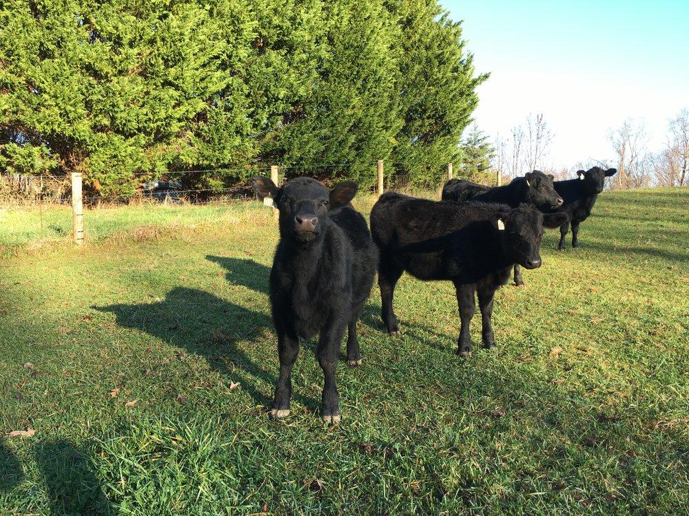 Grass Fed Angus Beef Maryland