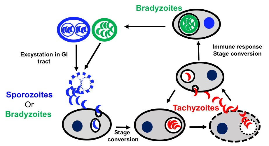 Project 2:Developmental Biology - Infectious cycle of Toxoplasma in an intermediate host. After ingestion of oocysts or tissue cysts, the sporozoites (non-dividing form) inside the oocyst or the bradyzoites (slow-dividing form) inside tissue cysts are released into the GI tract where they rapidly infect enterocytes (Initiation of infection). Following processes that are poorly defined, these parasites convert to the tachyzoites (the rapidly dividing form). The tachyzoites will replicate and disseminate to various tissue in the body (Acute phase of the infection). Upon activation of the host immune system, the tachyzoites will convert to the bradyzoites, which will persist in tissue cysts (brain and muscle tissues predominantly) for the lifetime of the infected individual or animal.