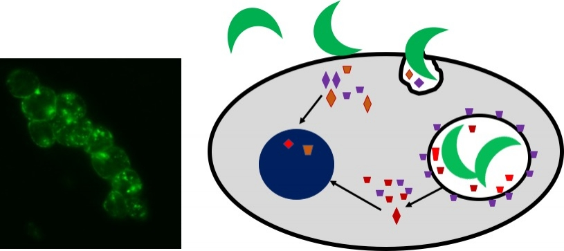 Project 1:Host/Pathogen Interactions - Immunofluorescence image depicting a Toxoplasma protein (green) secreted into the parasitophorous vacuole (left) and cartoon of Toxoplasma infection of a nucleated cell (right).here...
