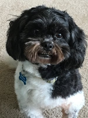ZiggyLab Security &Cuddling Officer - Ziggy is Dr. Guiton's best friend! He is a hypoallergenic 6-year old Shih-Tzu-Poodle. He has been Dr. Guiton's companion since he was 4-months old. He is a very happy puppy! From time to time, Ziggy visits Dr. Guiton's workplace to provide everyone with petting time and to bring more joy in the lab. But BEWARE! As the lab security officer, he makes sure no one violates the established safety rules!