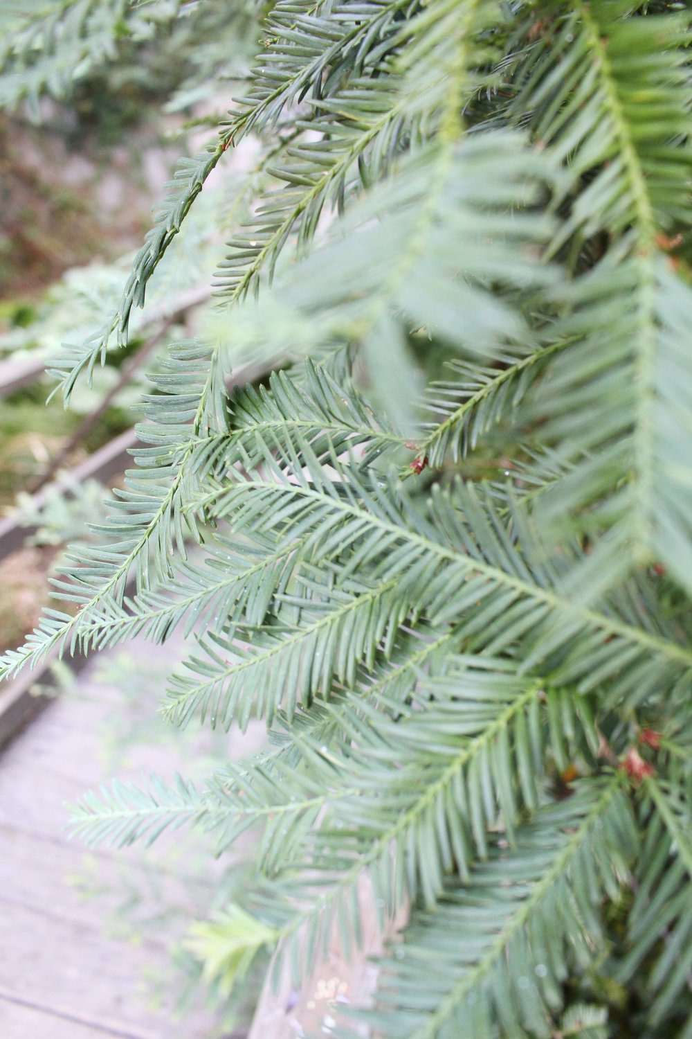 Redwood_Leaves