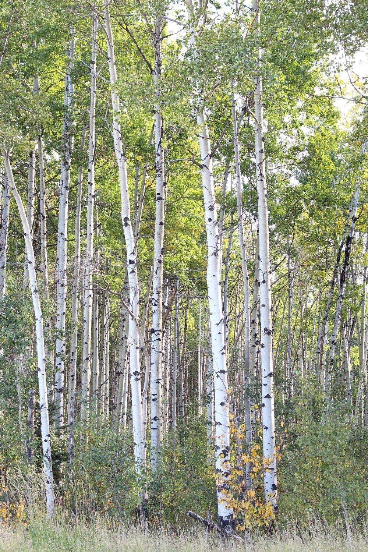 Trees_Canada