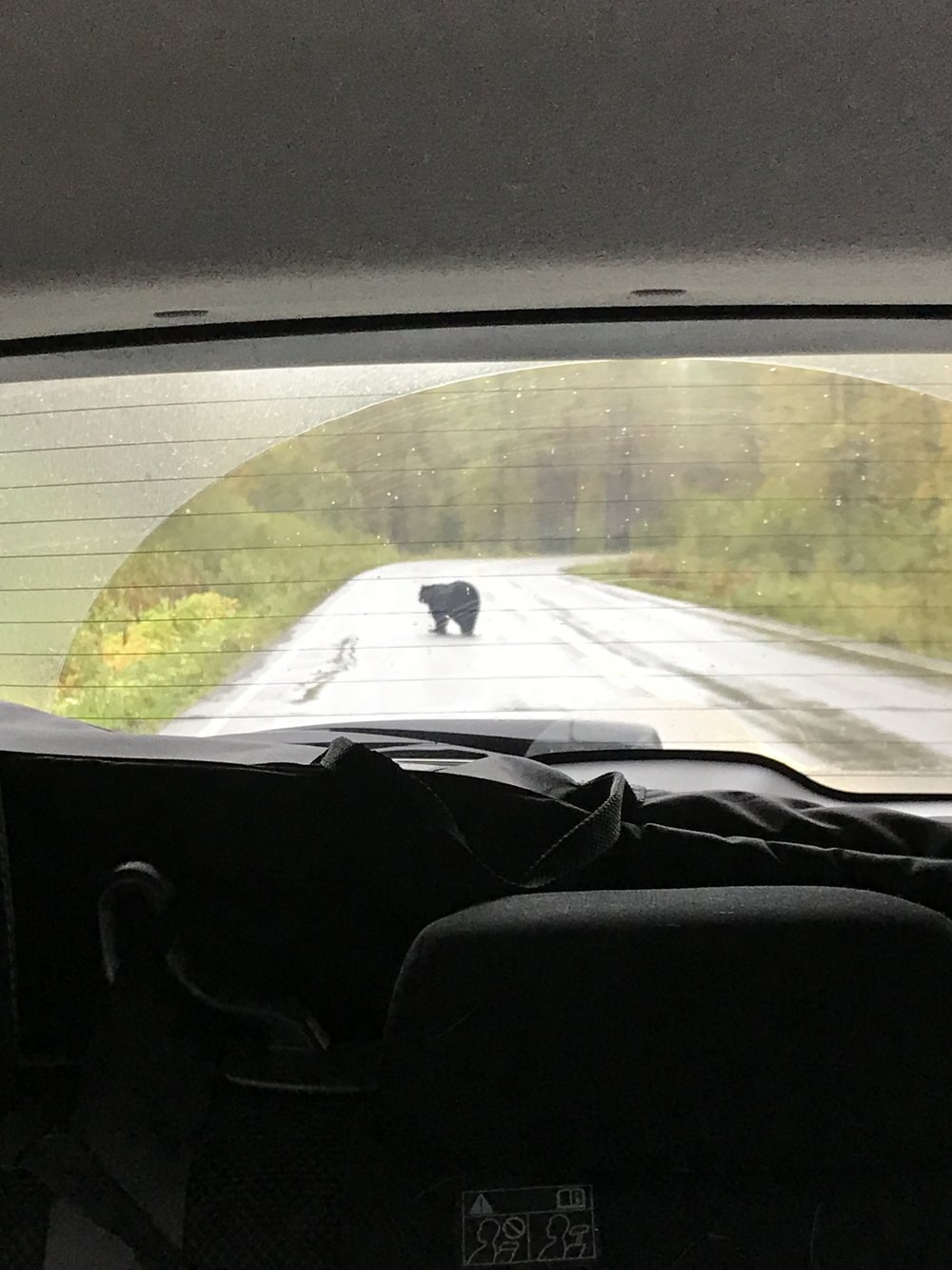 Bear crossing the road right behind us!