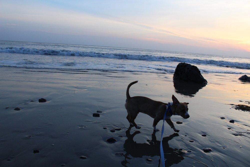 Pit_Bull_Beach