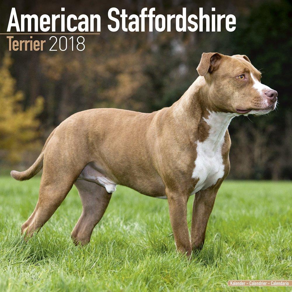 American_Staffordshire