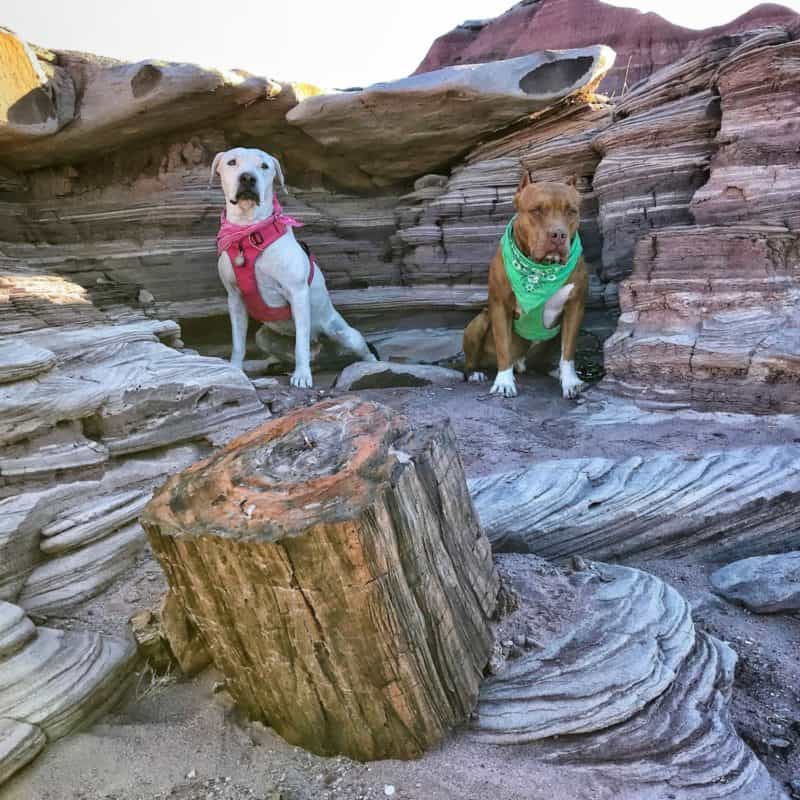 Photo of dogs in the Petrified Forest via  gopetfriendly.com