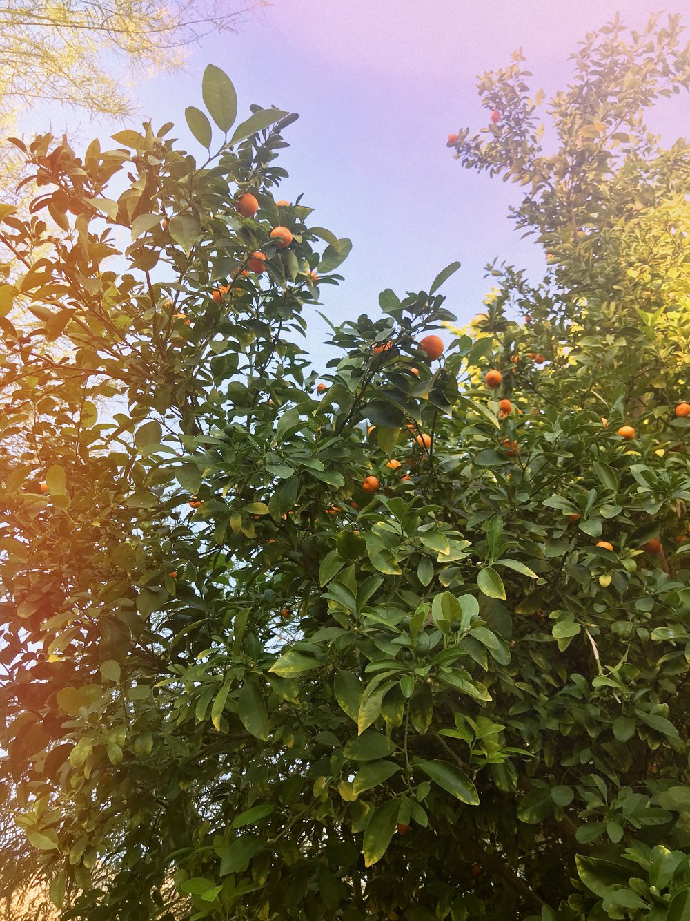 Little oranges (I think?) growing on the property at the Ace. So lovely!