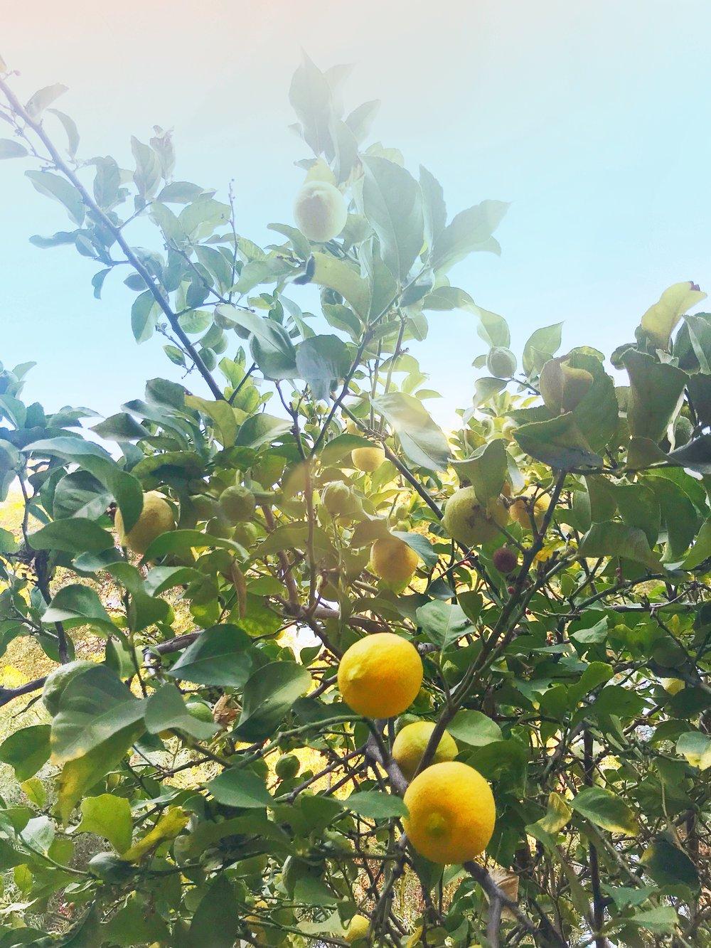 Lemon_Branches.JPG