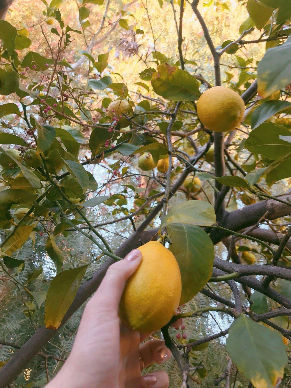Picking_Lemons.JPG
