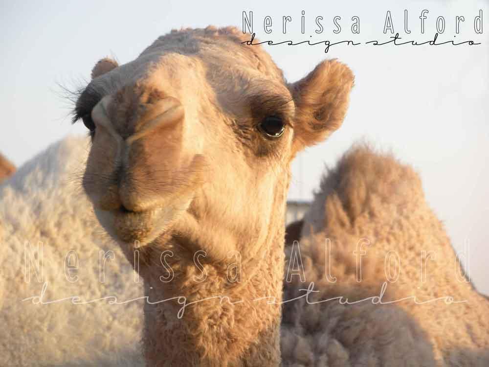 Desert Camel - Kuwait