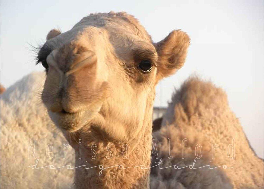 DesertCamel-CloseUp.jpg
