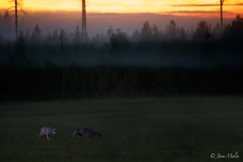 Wolves Kuhmo Pack, Finland.