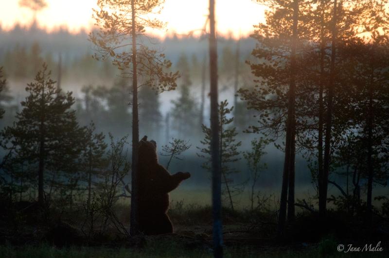 Bear at sunrise; Finland.
