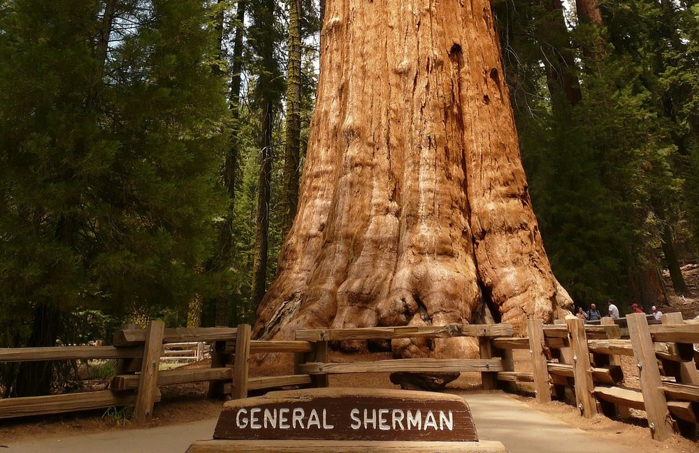 tree-Sequoia_California.jpg