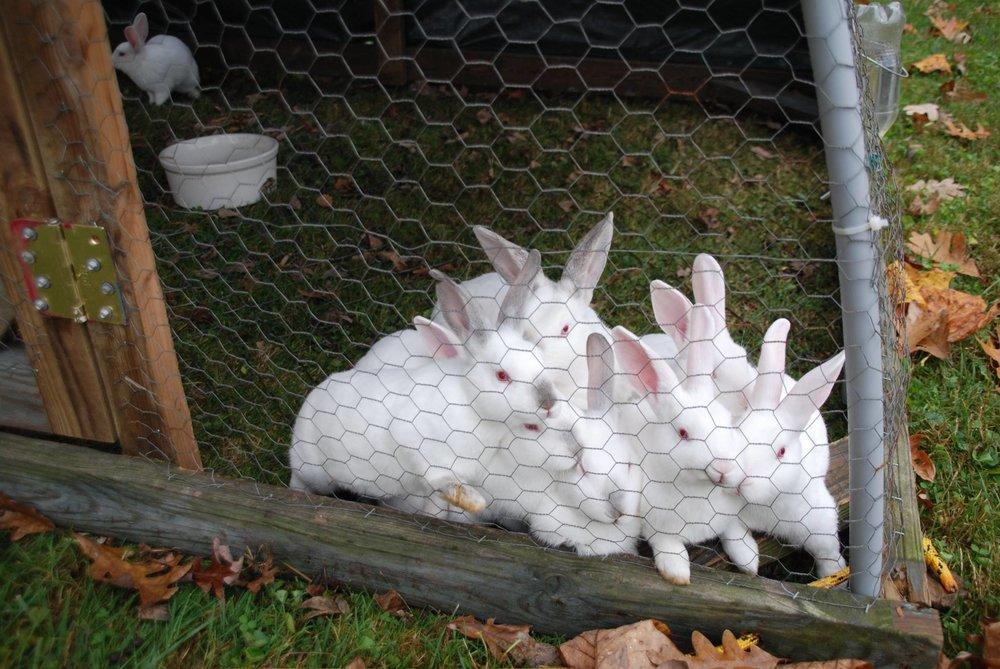 pasture raised rabbits havens hill farm.jpg