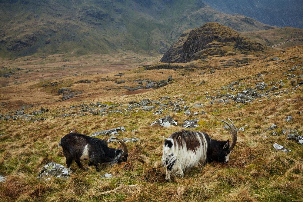 Feral goats near Llyn Teyrn, Snowdonia, Wales
