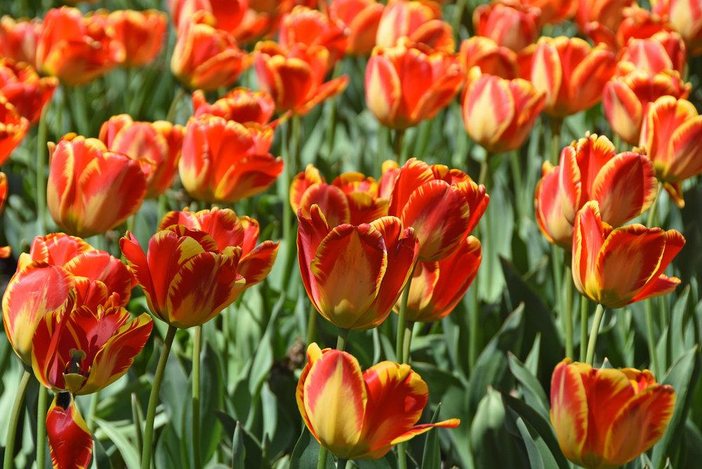 Orange tulips in Baltimore's Sherwood Gardens