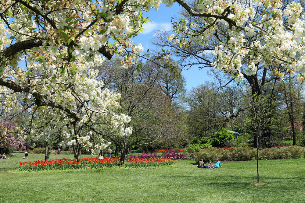 White trees blossoms in the foreground of a view of Sherwood Gardens in Baltimore