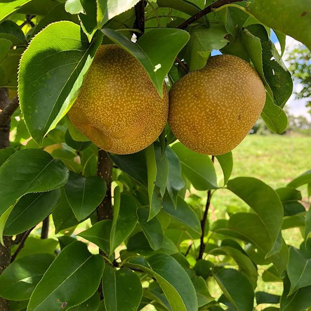 Bumper crop of crisp Asian pears in the Olivette Community orchard!  #agrihood #farmtotable #harvesttime #communityorchard #eatfreshlocal #ashevillenc #slowfood #olivetteliving #asianpears