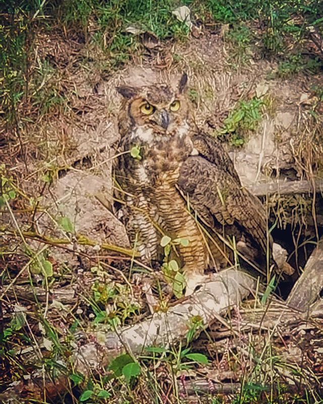 A beautiful Great Horned Owl making an appearance this morning! One of the pillars that our community is built on is sustainability and balance with nature. We love sharing this community with beautiful wildlife! #OlivetteLife #greathornedowl #owlsofinstagram #onewithnature
