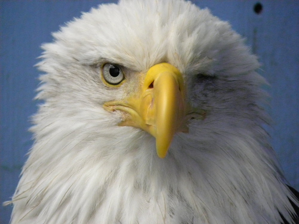 One-eyed Eagle