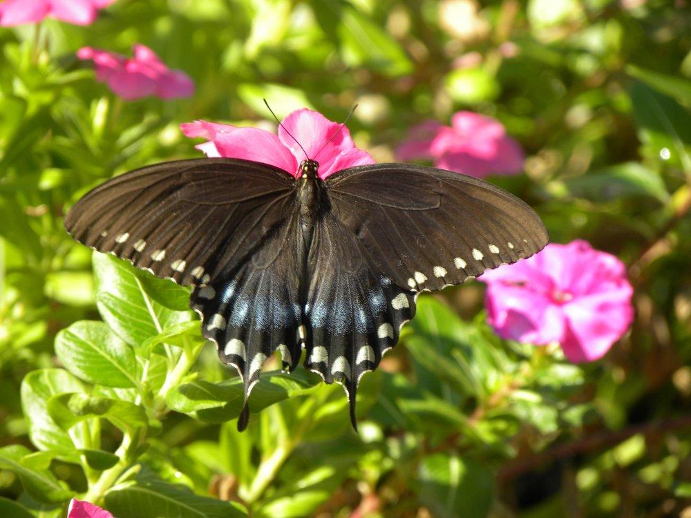 Still Butterfly