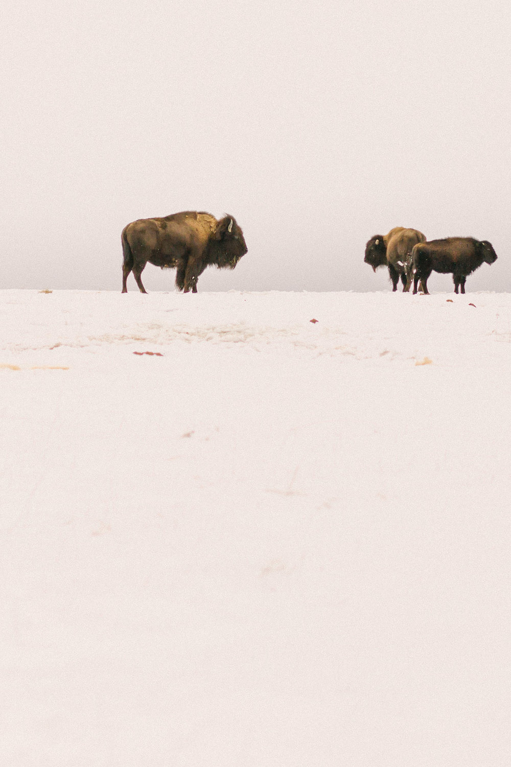 Chelsea Macor Photography Nature Photography Print of Buffalo in Snow-2.jpg
